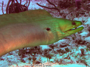 A very large green moray by Cheri Denn